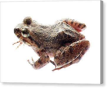 Giant Spiny Frog Canvas Print by Pan Xunbin