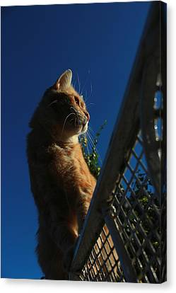 Ginger Cat Sat On Garden Gate Canvas Print by Turnip Towers