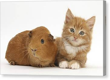 Ginger Kitten And Red Guinea Pig Canvas Print by Mark Taylor