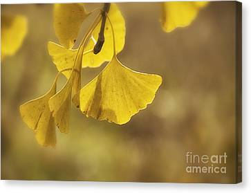 Gingko Gold Canvas Print by Terry Rowe
