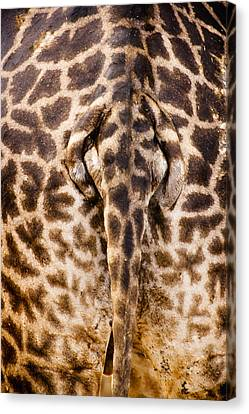 Giraffe Butt Canvas Print by Adam Romanowicz