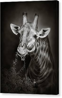 Giraffe Eating Canvas Print by Johan Swanepoel