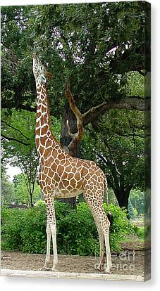 Giraffe Eats-09053 Canvas Print by Gary Gingrich Galleries