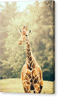 Giraffe In The Rain Canvas Print by Pati Photography