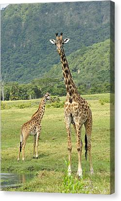 Giraffe Mother And Calftanzania Canvas Print by Thomas Marent