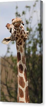 Giraffe Neck And Teeth Canvas Print by Dan Sproul