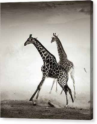 Giraffes Fleeing Canvas Print by Johan Swanepoel