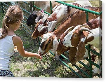 Girl Feeding Goats Canvas Print by Jim West