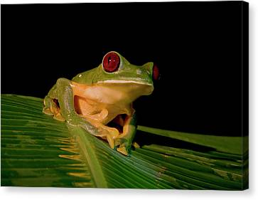 Gliding Tree Frog (agalychnis Spurrelli Canvas Print by Thomas Wiewandt
