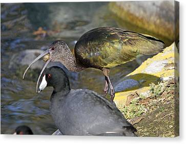 Glossy Ibis Eating Canvas Print by Shoal Hollingsworth