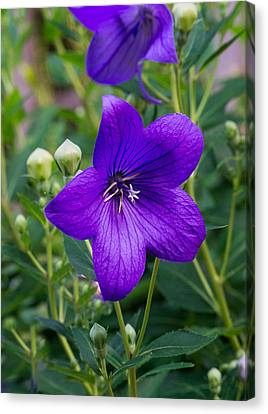 Glowing Balloon Flower Greating The Morning Canvas Print by Douglas Barnett