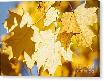 Glowing Fall Maple Leaves Canvas Print by Elena Elisseeva