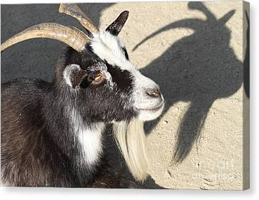 Goat 7d27402 Canvas Print by Wingsdomain Art and Photography
