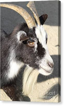 Goat 7d27405 Canvas Print by Wingsdomain Art and Photography