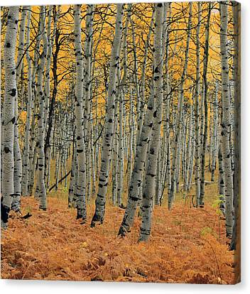 Golden Aspen Forest Canvas Print by Johnny Adolphson