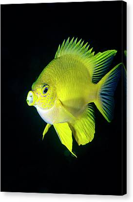 Golden Damselfish Canvas Print by Louise Murray