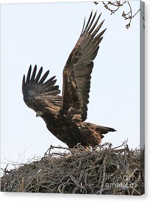 Canvas Print featuring the photograph Golden Eagle Takes Off by Bill Gabbert