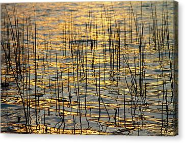 Golden Lake Ripples Canvas Print by James BO  Insogna