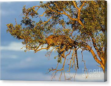 Golden Leopard In The Tree Canvas Print by Maggy Meyer