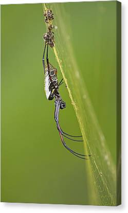 Golden Orb-weaver Spider Canvas Print by Science Photo Library
