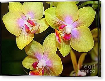 Golden Orchids Canvas Print by Dora Sofia Caputo Photographic Art and Design