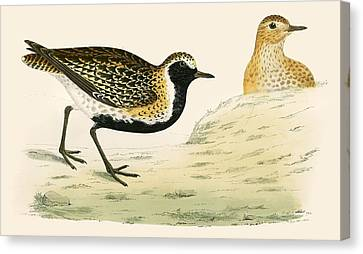Golden Plover Canvas Print by Beverley R Morris