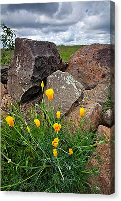 Golden Poppy Canvas Print by Peter Tellone