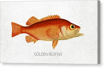 Golden Redfish Canvas Print by Aged Pixel