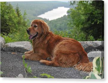 Golden Retriever Canvas Print by Catherine Reusch  Daley