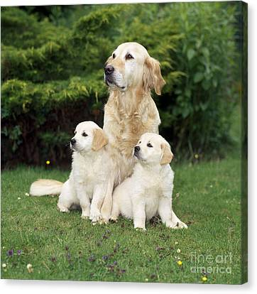 Golden Retriever Dog With Two Puppies Canvas Print by John Daniels