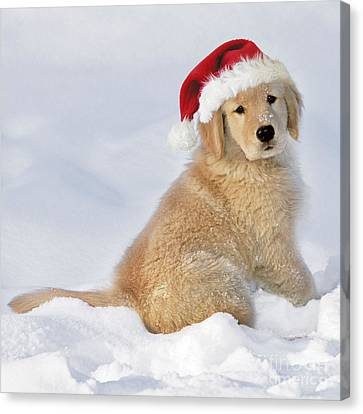 Golden Retriever In Santa Hat Canvas Print by Rolf Kopfle