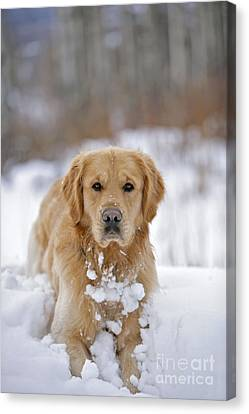 Golden Retriever In Snow Canvas Print by Rolf Kopfle