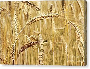 Golden Wheat  Canvas Print by Carlos Caetano