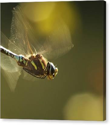 Golden Wings Canvas Print by Belinda Greb