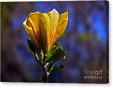 Golden Yellow Magnolia Blossom Canvas Print by Byron Varvarigos
