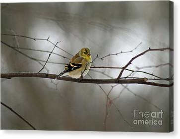 Goldfinch In Winter Looking At You Canvas Print by Karen Adams