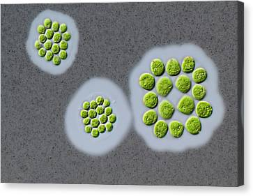 Gonium Sp. Green Alga Canvas Print by Gerd Guenther