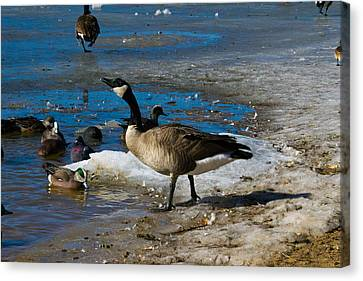 Goose Gazing Greater Canvas Print by Matt Radcliffe