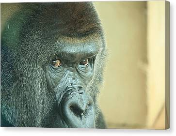 Gorilla's Look Canvas Print by Adnan Elkamash