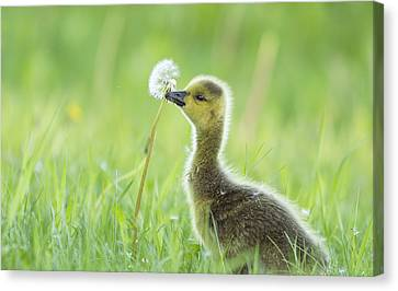 Gosling With Dandelion Canvas Print by Mircea Costina Photography