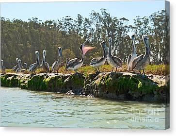 Gossip - Group Of Brown Pelican Pelecanus Occidentalis On The Elkhorn Slough. Canvas Print by Jamie Pham