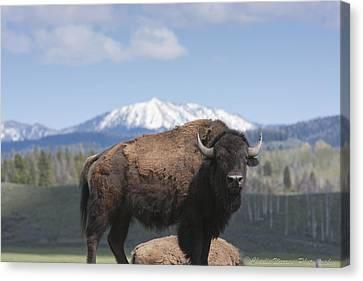 Grand Tetons Bison Canvas Print by Charles Warren