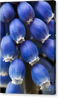 Grape Hyacinth Flower  Canvas Print by Tim Gainey