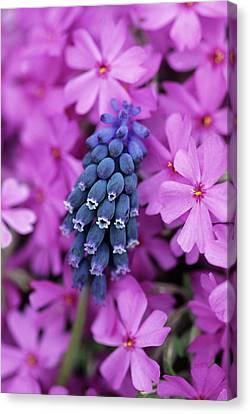 Grape Hyacinth In Phlox In Garden Canvas Print by Jaynes Gallery