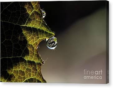 Grape Leaf With Rain Drop Canvas Print by Cindi Ressler