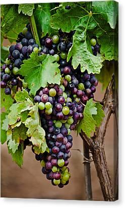 Grape Veraison Canvas Print by Swift Family