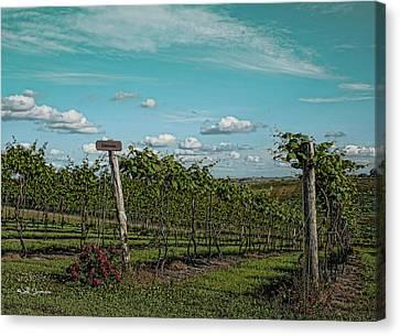 Grape Vines Canvas Print by Jeff Swanson