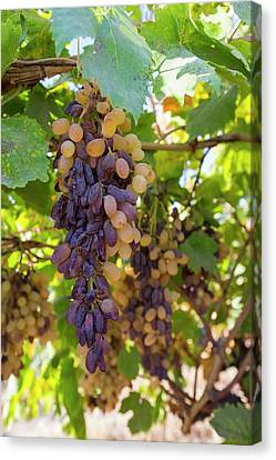 Grapes Growing In Bakersfield Canvas Print by Ashley Cooper