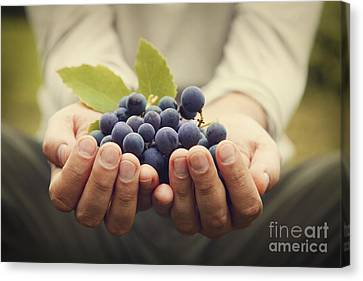 Grapes Harvest Canvas Print by Mythja  Photography