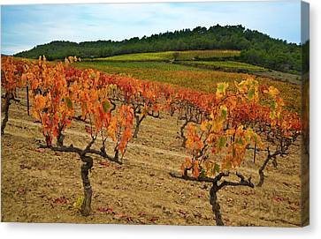 Grapes In A Vineyard Ready Canvas Print by Panoramic Images